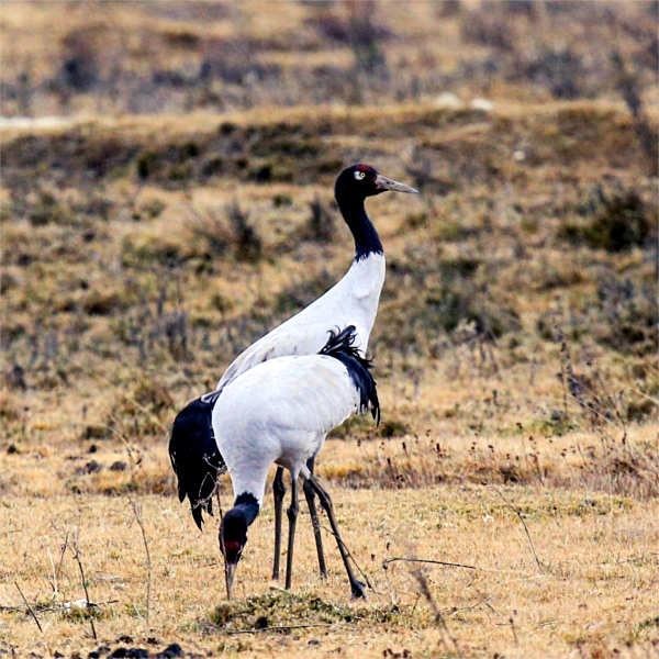 Black Necked Crane Festival